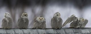 Harfang des neiges / Snowy Owl / Bubo scandiacus / Ukpik