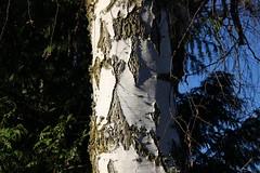 Diamond birch bark patterns (nikname) Tags: trees roodbridgepark hillsboroor stateparks urbanparks