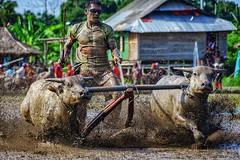 Buffalo race in Sumbawa island, West Nusa Tenggara. (didik hariadi mahsyar) Tags: people activity sport traditional game race lombok sumbawa sonya7r sonyalpha