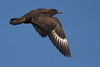 Grote Jager - Stercorarius skua - Great Skua (merijnloeve) Tags: portugal algarve grote jager stercorarius skua great sagres sea