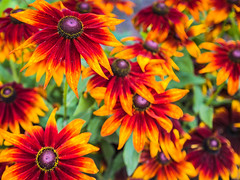 *** (donnicky) Tags: saintpetersburg blooming blurredbackground closeup colorful day daylight dof flowerhead flowers multipleobjects nature nopeople outdoor publicsec summer ботаническийсадспб