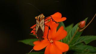 Shield bug possibly