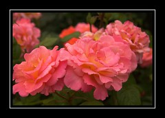 Sunshine Special (Audrey A Jackson) Tags: canon60d rhs rosemoor devon nature roses perfume beauty