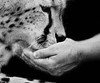 Friendship (MudMapImages) Tags: cheetah love respect zoo blackandwhite connection bond conservation