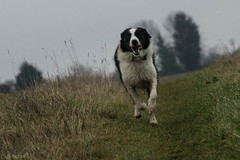 Mizzle and Muck (sharongellyroo) Tags: dodge bordercollie rescue walkies suffolk glemsford wet drizzle
