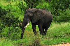 African Elefant 326672gb (Dirk Huitzing) Tags: africanelefant olifant loxodontaafricana mpumalanga southafrica