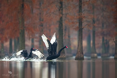 Black swan (Cygnus atratus) (China (Jiangsu Taizhou)) Tags: nikon d5 800mm f56 vr afsnikkor800mmf56efledvr birds 2017 wildlife birding shorebird blackswan cygnus cygnusatratus 黑天鹅 hēitiāné ngc nationalgeographic birdwatching birdwatcher forest lake pond largesizebirds