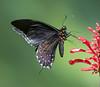 Dusky Swallowtail Butterfly, Papilio erostratus, in Flight nectaring on Pink Porterweed. Wings of the Tropics, Fairchild Tropical Botanic Garden. (pedro lastra) Tags: asa wright san pablo retreat yerette