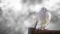 Dove (Mohammed Qamheya) Tags: qatar alkhor park nikon d500 tamron cold winter bokeh dove animal fauna metal rust brown