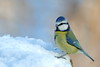Blue tit hoping (david.england18) Tags: bluetit smallbirds titfamily various tits blue great coal queensparkheywood frost snow canon7dmkll canonef300mmf4lisusm birdsuk songbirdsineurope