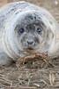 Seal (Matt Hazleton) Tags: greyseal halichoerusgrypus seal eos matthazphoto wildlife nature lincolnshire animal outdoor mammal matthazleton canon 100400mm 7dmk2 canon100400mm canoneos7dmk2 donnanook lincolnshirewildlifetrust