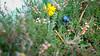 Beatle (kyoleyn) Tags: beatle käfer heide heather ellerndorf flower tier animal small