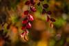 Autumn colours (CecilieSonstebyPhotography) Tags: bokeh markiii glow closeup canon5dmarkiii leaf leaves autumn canon fall october 135mmf18dghsmart017