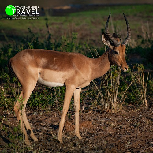 Impala at Kruger Park - 2009