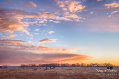 Bison grazing beneath the sunrise