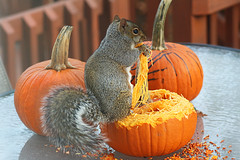 Seasonal treat (die Augen) Tags: pumpkin squirrel canon ls1 fall color orange eating animal