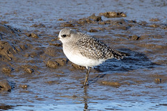 Grey Plover (NickWakeling) Tags: greyplover plover norfolk titchwell rspb waders wildlife canoneos7dmarkii sigma150600mmf563dgoshsmcontemporary
