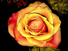 For the Beauty of the Rose we also water the thorns (African Proverb) (RenateEurope) Tags: 2017 renateeurope iphoneography yellow flower plants rose awesomeblossoms