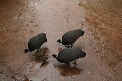 Chester Zoo (785) (rs1979) Tags: chesterzoo zoo chester tsavobirdsafari guineafowl