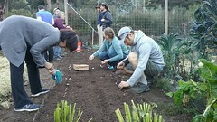 planting-garlic-fall (santacruzpermaculture) Tags: gardening organic garlic planting compost raisedbeds pdc gopherwire experientiallearning permaculture class course
