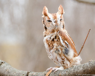 Red Phase Screech Owl - Natural Light