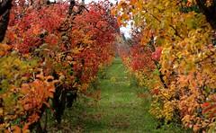l'allée flamboyante (chriskatsie) Tags: automne autumn fall tree arbre feuille leaf colours couleur herbe grass
