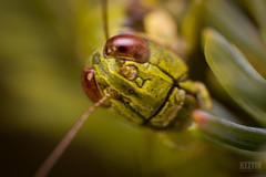 Green Face (Keztik) Tags: nikon d3200 macro insect insecte bug grasshopper locust green animal nature small closeup
