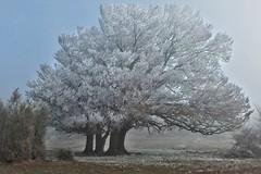 Le vent qui a soufflé entre nous... The wind that blew between us... #Darktable #FujiX-S1 (ImAges ImprObables) Tags: auvergnerhônealpes drôme commune eyzahut serregros plateau automne givre brume hêtre ramure blanc froid glacial traitement darktable fujixs1