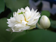 Sacred Lotus 'White Maldives' Wahgarden Thailand 13 (Klong15 Waterlily) Tags: whitemaldives lotus sacredlotus thailotus flower lotusflower wahgarden