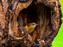 Carolina Wren - Escaping the Rain (dbking2162) Tags: birds bird nature wildlife nationalgeographic animal trees carolina wren indiana rain