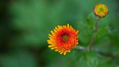 Mine's a Bud (Bob's Digital Eye) Tags: 2017 bobsdigitaleye canon canonefs55250mmf456isstm closeup depthoffield flicker flickr flower gardenflowers macro plant t3i