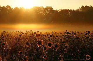 Sonnenblumenfeld beim Sonnenaufgang
