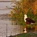 Fish eagle ruffling feathers