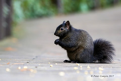 Black Squirrel (Peter Camyre) Tags: peter camyre photography wildlife canon 70200 lens black squirrel westfield massachusetts