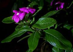 _MG_2875.CR2 (jalexartis) Tags: vinca bloom blooms flower flowers night nightphotography nightshots lighting camranger rain raincover diy