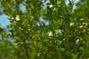 Flowering tree (pstenzel71) Tags: natur pflanzen portofino flower tree baum blüte darktable samsungnx bokeh