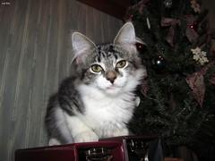 """""""What d'ya mean 'DON'T get in the tree' ?"""" (Lisa Zins) Tags: kittens kitten cat feline lisazins petsandanimals pet animals mainecoonmix mainecoonmixkitten maine coon mix tn tennessee elijah face kittenface christmas 2017"""