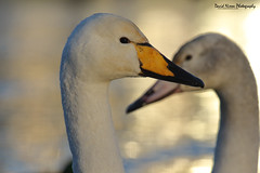 Whooper Swans, Cygnus cygnus (Midlands Reptiles & British Wildlife Diaries) Tags: whooper swan cygnus iceland northern cold sun exposure orahe orange beak bill frosty icy winterscape davidnixon fauna forest ecology birds migrants canon 600mmf4
