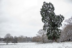 Wollaton redwood in the snow (Michael Fay) Tags: wollatonpark snow trees redwood