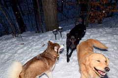three (greenelent) Tags: dogs snow animals white winter 365 photoaday traversecity mi michigan