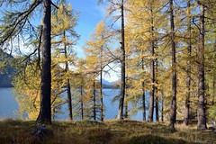 Silsersee (giorgiorodano46) Tags: ottobre2017 october 2017 giorgiorodano nikon sils segl engadina grigioni svizzera switzerland schweiz suisse lago lake lagodisils silsersee larici autunno alpi alpes alps alpen autumncolors foliage graubünden grisons mélèzes mélèze larice larches larch