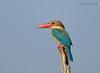 Taking a break... (Anirban Sinha 80) Tags: nikon d610 500mm f4 ed vrii n g bird kingfisher beak sun colour explore fx