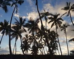 slender trees (BarryFackler) Tags: hawaii polynesia kona puuhonuaohonaunaunationalhistoricalpark puuhonua puuhonuaohonaunau nps kii carving idol god palmtrees sky fronds palms plants clouds silhouette nature evening outdoor hawaiiisland westhawaii nationalparkservice barryfackler barronfackler hawaiianculture hawaiianhistory hawaiiantradition konacoast honaunaubay southkona island hawaiicounty pacific polynesian bigisland tropical honaunau nationalhistoricalpark park preservation culture landmark historical 2017