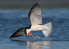 Psych! (PeterBrannon) Tags: bird fishing flight florida fortdesoto gulf nature pinellascounty rynchopsniger skimmer skimming skimmingthesurface wildlife blackskimmer lowpov ocean