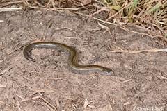 Lowlands Earless Skink (Hemiergis peronii) (shaneblackfnq) Tags: lowlands earless skink hemiergis peronii shaneblack lizard reptile burrowing ngarkat south australia