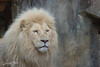 20170714-Rhenen-240.jpg (BZD1) Tags: pantheraleo natuur witteleeuw ouwhandsdierenpark nature carnivore mammal rhenen whitelion animal leeuw felidae lion utrecht nederland nl