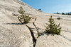 No Crack is Too Small for a Tree (Ralph Earlandson) Tags: tuolumnemeadows yosemite lembertdome california