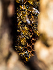 Honey Bees (Nigel Wallace1) Tags: honey bees nature natureatitsbest beautyinnature insects food delicate hexagon patterns olympus omdem1mk11 40150 home