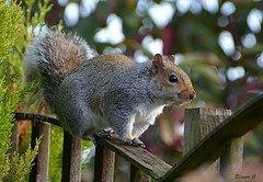 Another Garden Visitor  HFF (Eleanor (No multiple invites please)) Tags: squirrel greysquirrel fence garden stanmore uk nikond7100 november2017