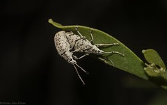 gravity? (dustaway) Tags: clagiraba coomeravalley sequeensland queensland australia arthropoda insecta coleoptera curculionidae australianbeetles weevilbeetle entiminae